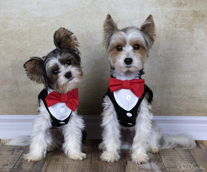 Black Step In Dog Harness With Shirt Front And Bow Tie Dog