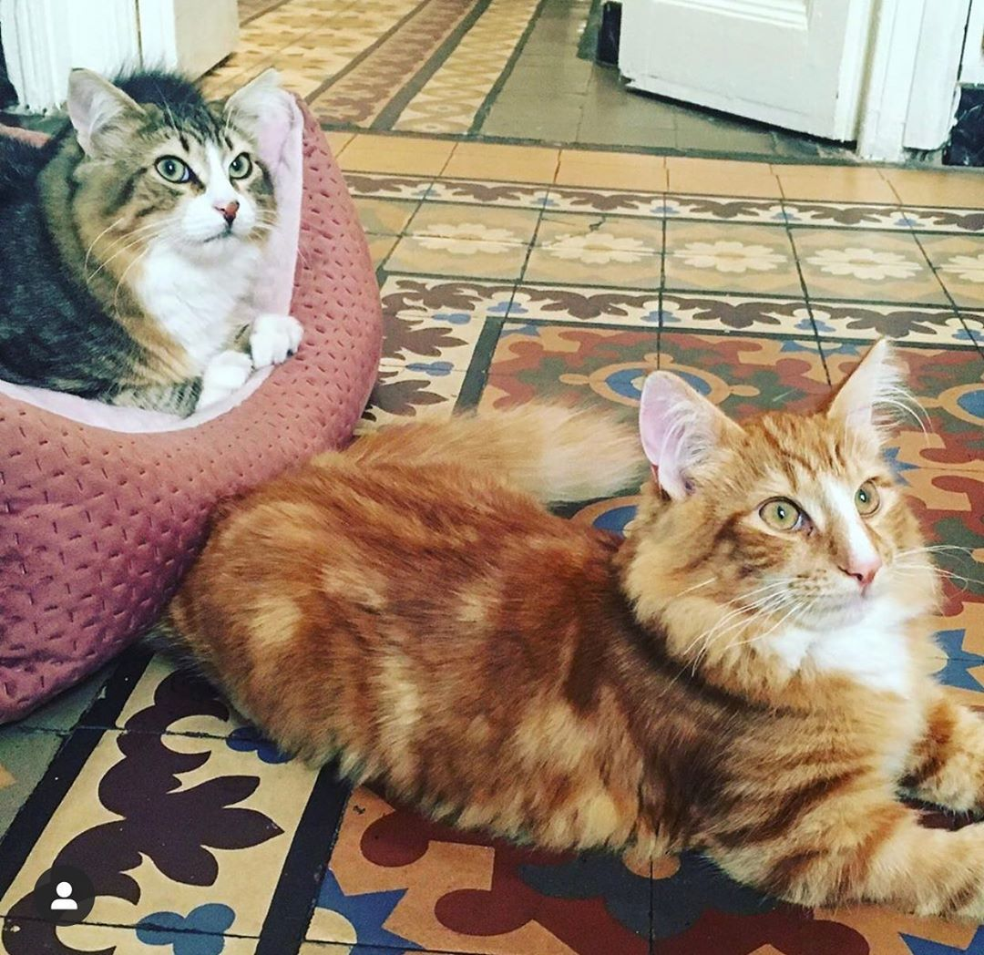 Romeoandjuliet Cats Tagged Us In Their Post You Know That Meme You Are My Meow Meow And Two Cats Looking At Each O Cat Tags Cute Cat Breeds Cute Cat