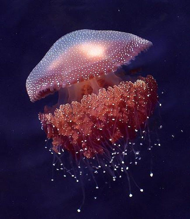 Jellyfish Facts, Interesting Trivia About Jellyfish