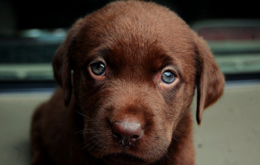 Chocolate Lab Puppies Lab Puppies Cute Puppies