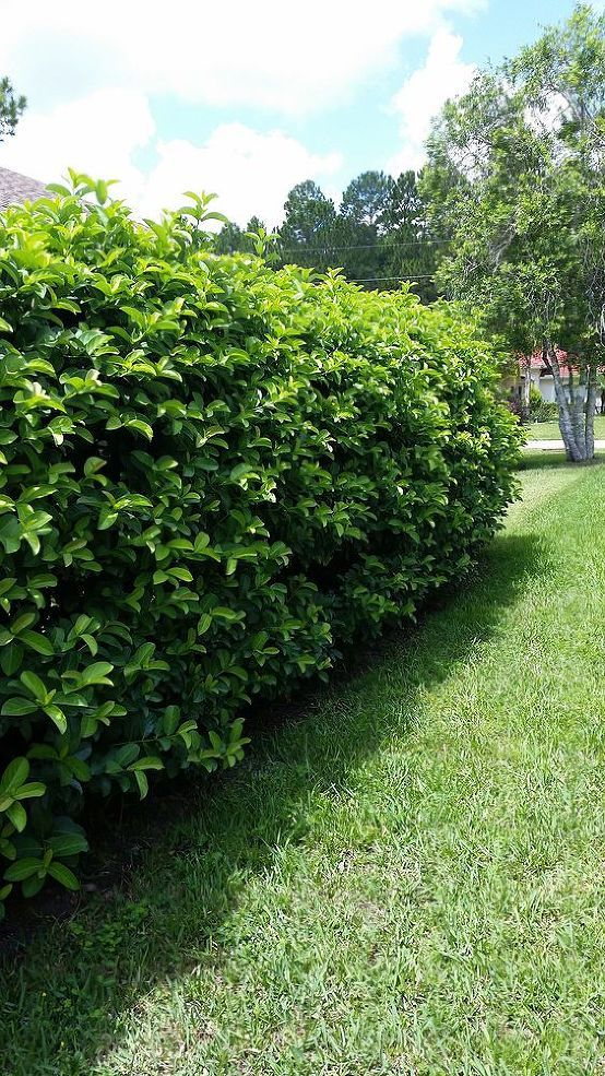 Identifying Backyard Florida Garden Bush In The Yarden
