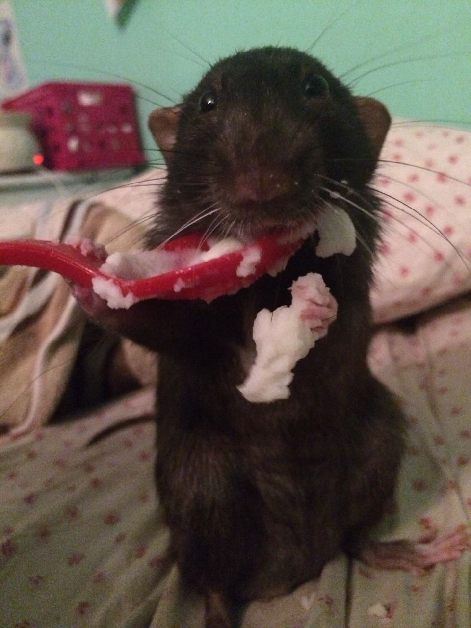 Cute rat eating mashed potatoes Cute rats, Cute small