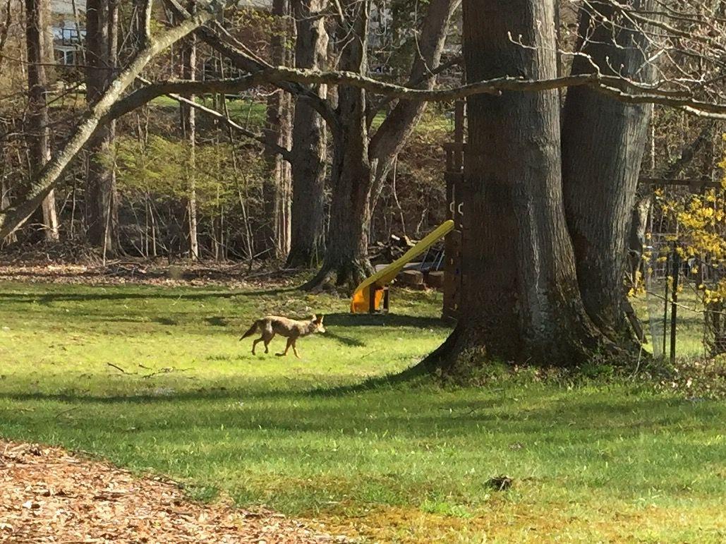 Coyote strolling through my back yard   Backyard, Stroll, Yard