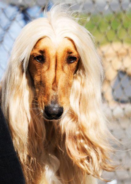 Afghan Dog Afghan Hound Dog Afghan Hound Hound Breeds Hot Hair Styles