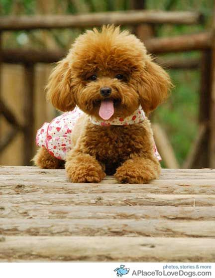 Justcatsanddogs Dogs Happy Poodle Poodle Puppy Poodle Dog