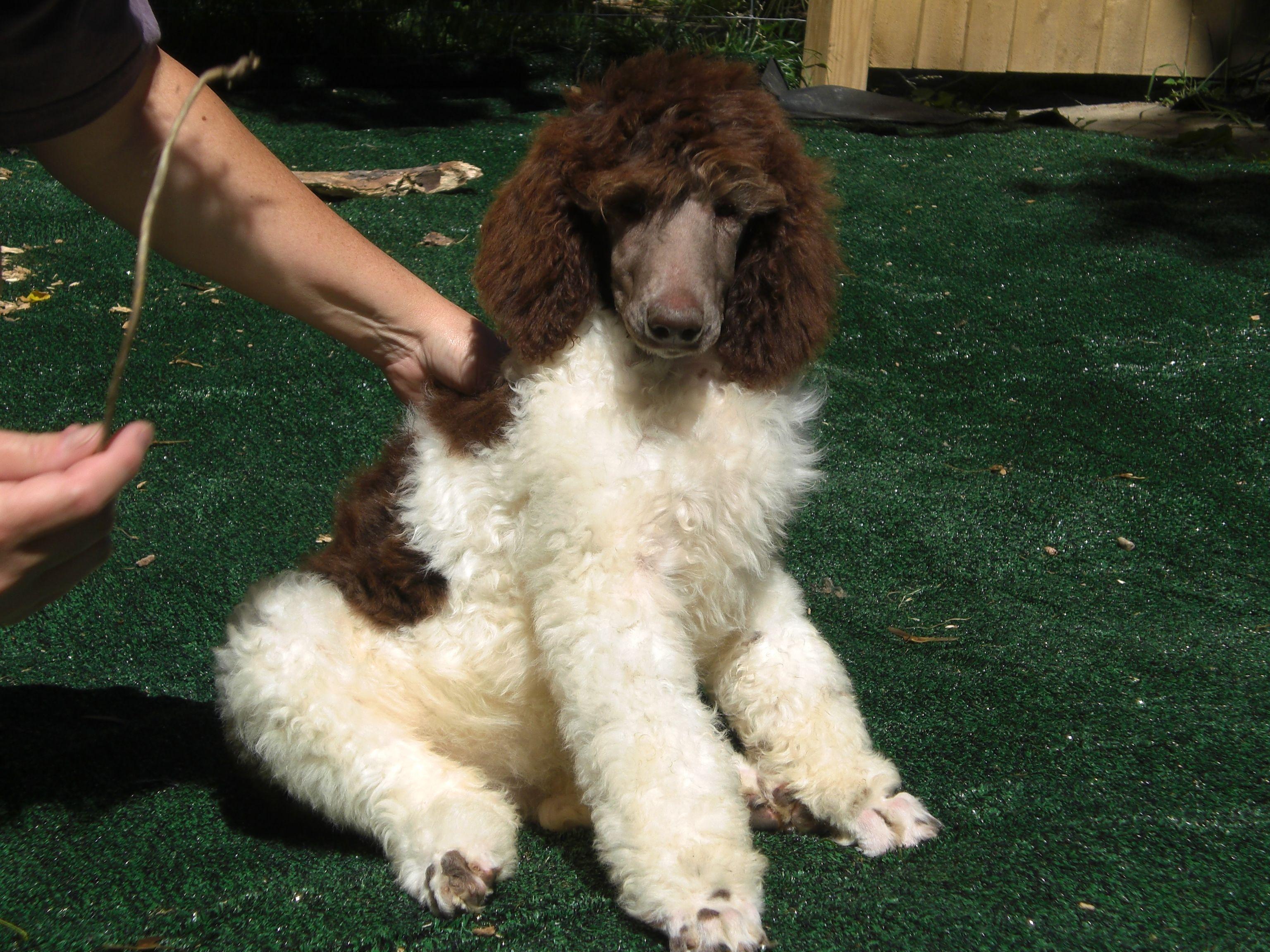 Parti Standard Poodle Puppy Jacknick Kennel Poodle Puppy