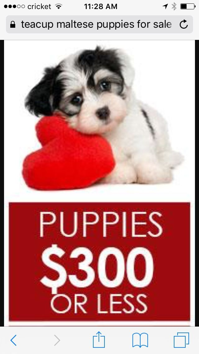 Looking For Teacup Puppies Any For Buying Memphis Pets Dogs In 2020 Puppies For Sale Lancaster Puppies Puppies