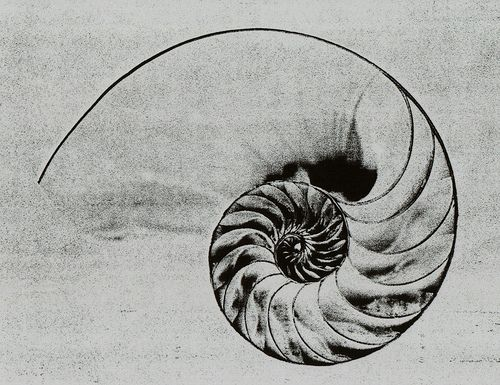 nautilus shell drawing pinterest nautilus tattoo