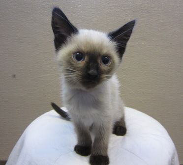 Edmonton Humane Society Siamese Cats Siamese Cats Blue Point Pretty Cats