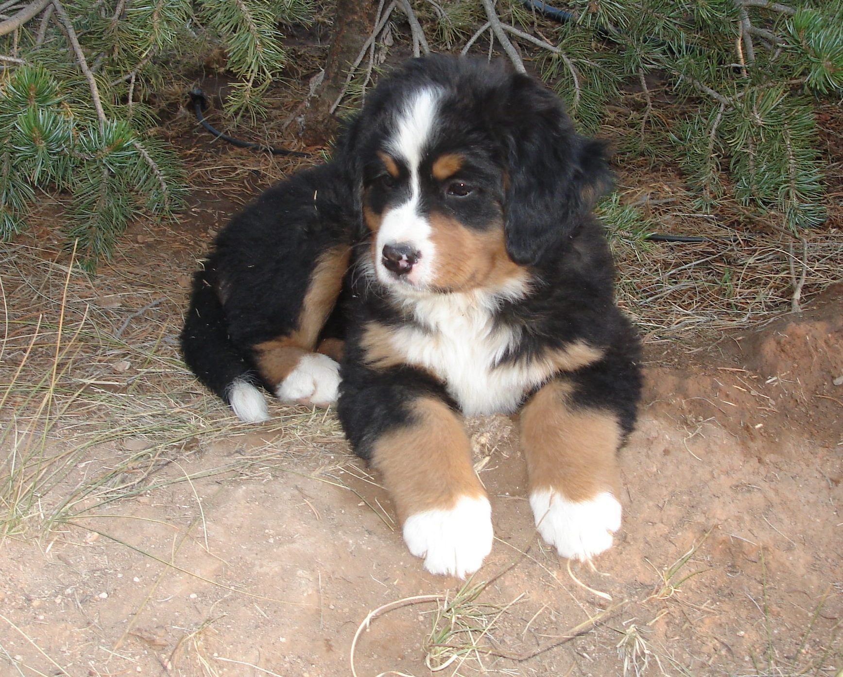 puppies and pines Puppies, Bernese mountain dog puppy