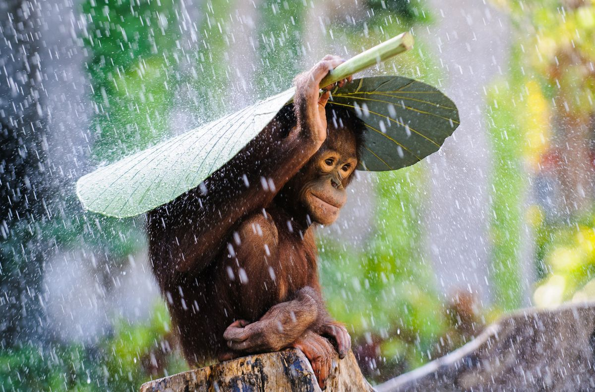 This young Orangutan won't let rain get him down! As seen here, he turns to a banana leaf as a makeshift umbrella. See more with the Huffington Post. (photo by: Andrew Suryono)