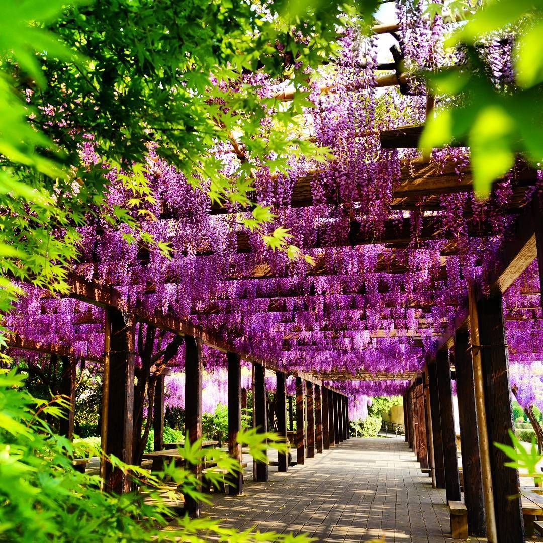 Japan S Wisteria Blooms Create Mesmerizing Tunnels And Designs To Wander Through And These Are Some Of The Locations To Wisteria Wisteria Tree Wisteria Tunnel
