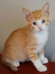 Domestic Shorthair Cat Kittens Cutest Tabby Kitten Tabby Kitten Orange