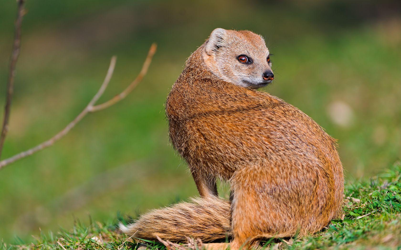 Sitting mongoose Pet birds, Animals, Mammals