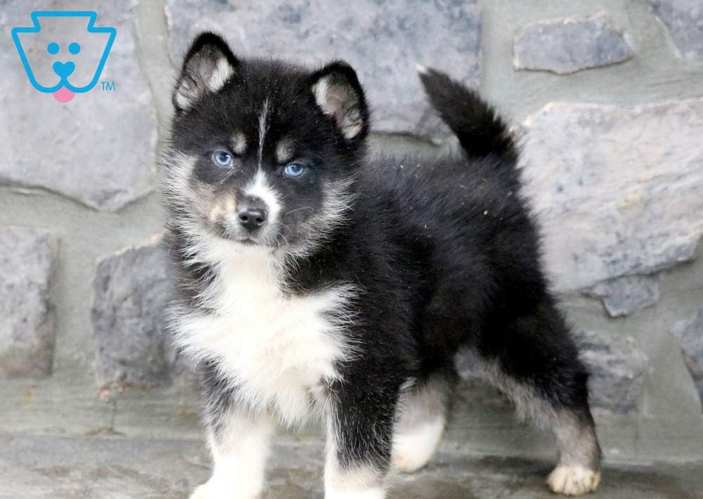 What Are The Characteristics Of Pomsky Puppies That Makes Them Was Sind Die Eigenschaften Von Pomsky Welpen Die Sie Mache In 2020 Pomsky Puppies Puppies Pomsky Dog