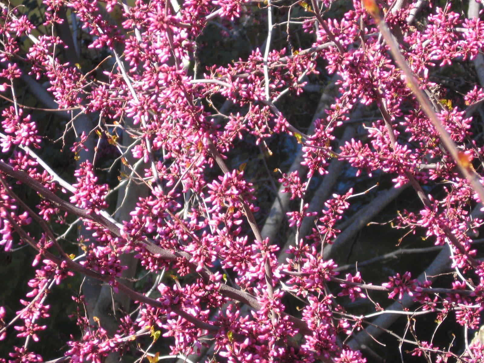 Western Redbud Flowering Tree Green Thumb Pinterest Perennials