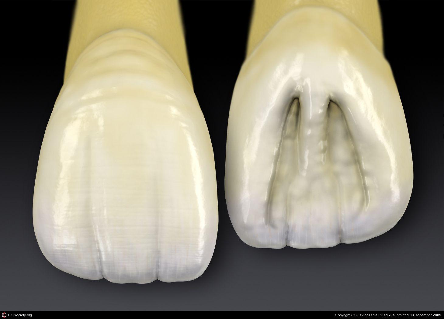 Central Incisor by Javier Tapia Guadix  3D  CGSociety  teeth  Dental teeth Dental anatomy