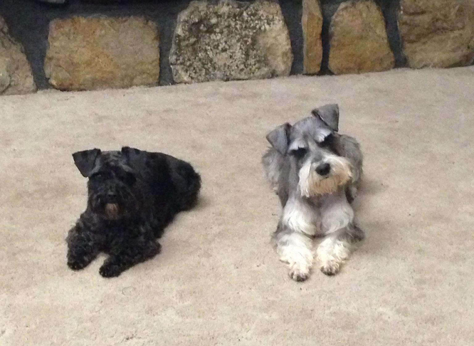 Loki Lola After A Schnauzer Grooming Dog Rocks Schnauzer Grooming Mini Schnauzer