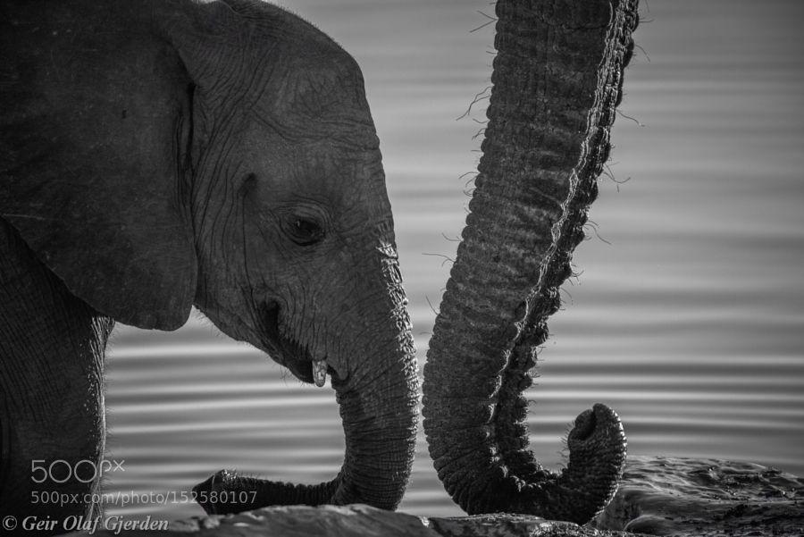 Elephant trunk by Geir_Olaf_Gjerden