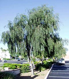 Willow Acacia Tree Acacia Salicina Mature Size 30 H X 15 W
