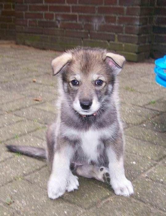 Tamaskan Tamaskan Dog Cute Dogs And Puppies Cute Dogs