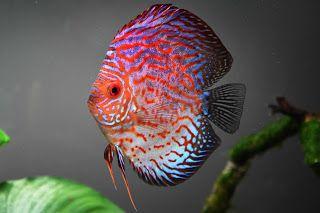 أسماك الأوسكار أسماك الديسكس Http Ift Tt 2szyqfh تربية اسماك الزينة دورة تربية سمك الزينة شرح انواع أسماك الزينة كورس ترب Fish Pet Fish Discus Aquarium