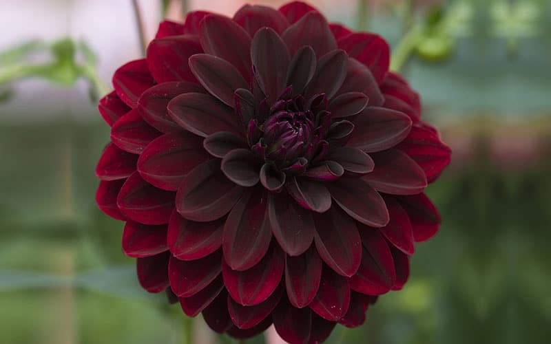 Black Dahlia Flower Is Edible Top Facts About Its Colors Care In 2020 Night Flowers Dahlia Flower Delilah Flower