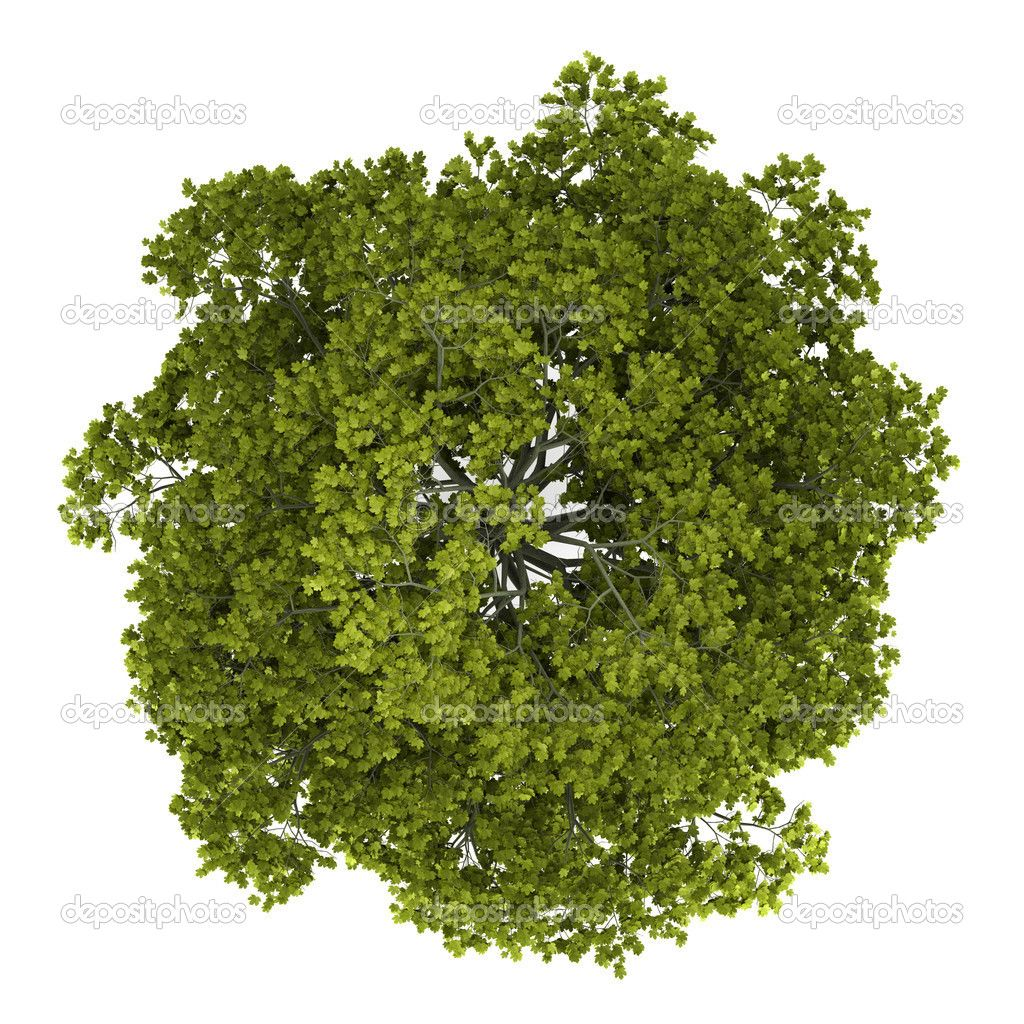 depositphotos 11640933 top view of norway maple tree isolated on white background jpg 1024 1024 trees top view tree plan photoshop tree textures tree plan photoshop tree