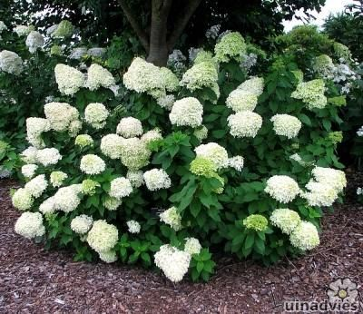 hortensia 39 limelight 39 hydrangea paniculata 39 limelight. Black Bedroom Furniture Sets. Home Design Ideas