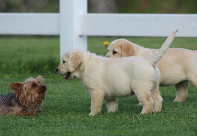 Lab Puppies Dole Hill Labradors Lab Puppies Labrador Puppies