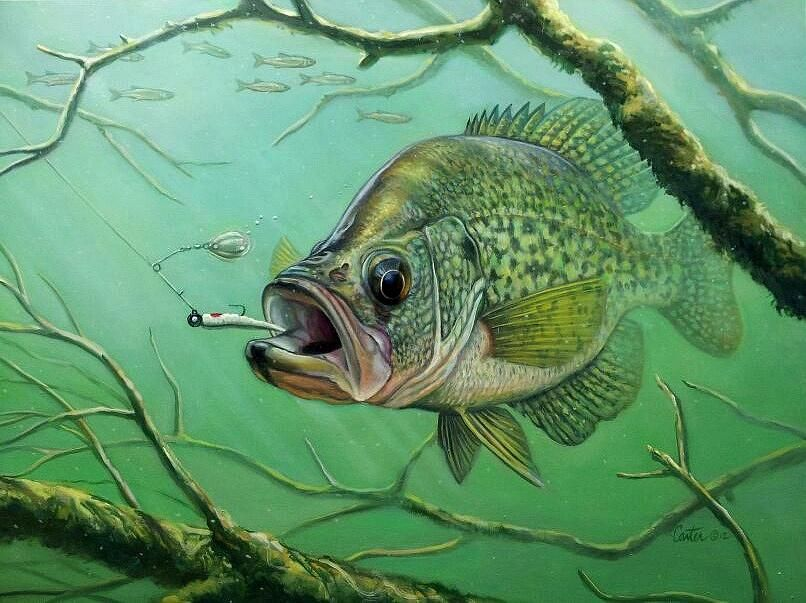 Crappie pictures art great crappie print crappie for Pictures of crappie fish