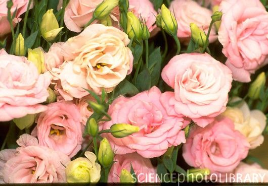 Eustoma Mariachi Misty Pink I Do Pinterest Flowers Mariachi Pink