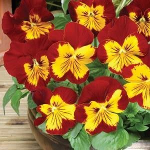 Raw Pansy Seeds Pansy Panola Sunburst Flower Seeds Pansies Flowers Flower Pots