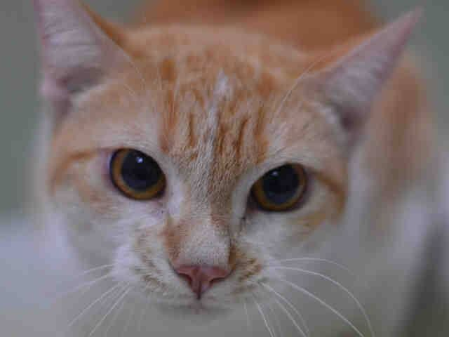 TO BE DESTROYED 10/23/14 ** Sunny was very vocal during during the intake. She was nervous but easy to handle. She remained motionless in carrier but was removed without handling. ** Manhattan Center My name is SUNNY. My Animal ID # is A1017693. I am a spayed female orange and white domestic sh. The shelter thinks I am about 3 YEARS old. OWNER SUR on 10/16/2014 from NY 10037, MOVE2PRIVA.