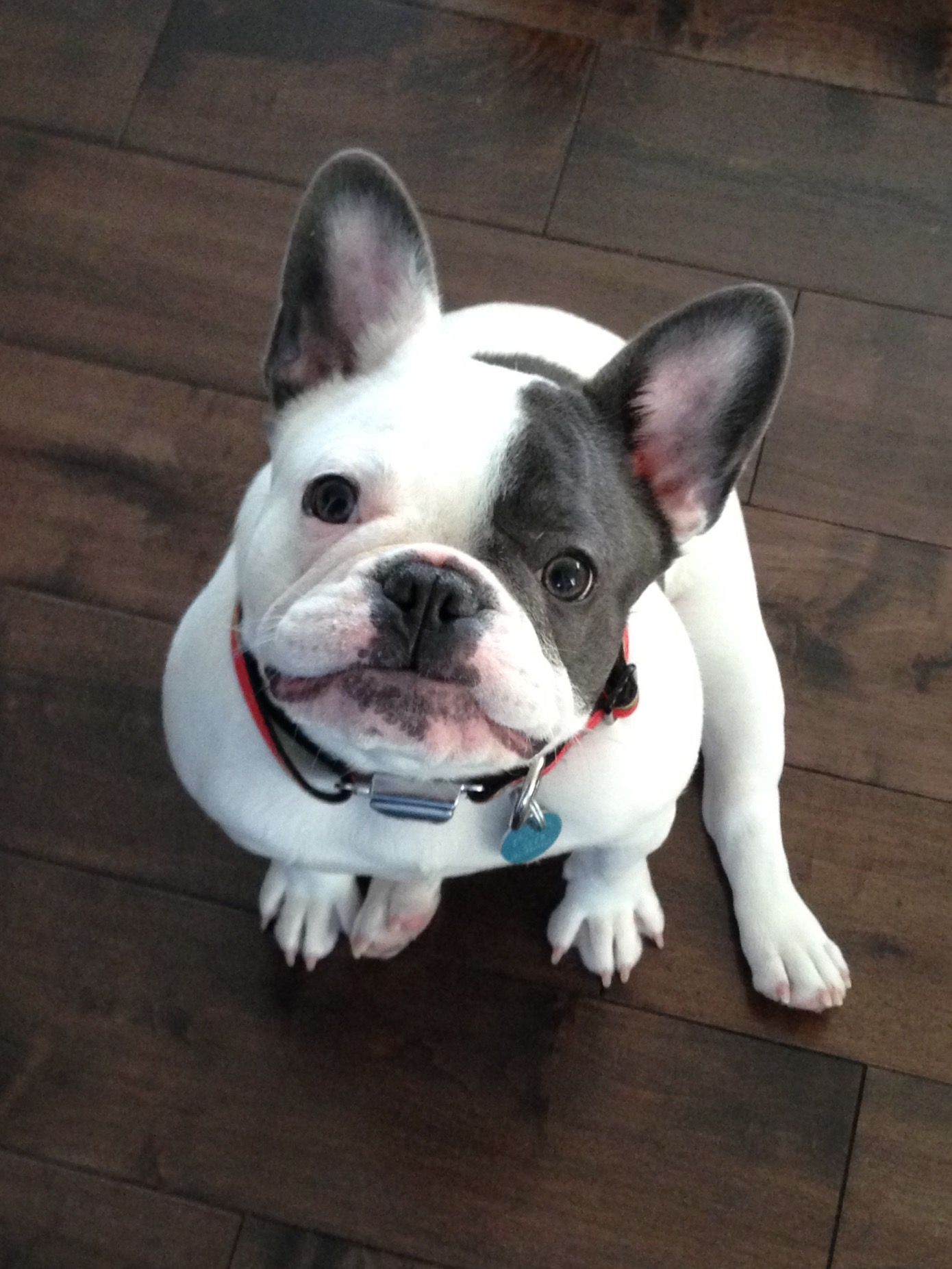 """""""Ok, I give you 'Frenchie Face', and you give me whatever I want.....see? it's really not that hard."""" the Rules of the French Bulldog."""