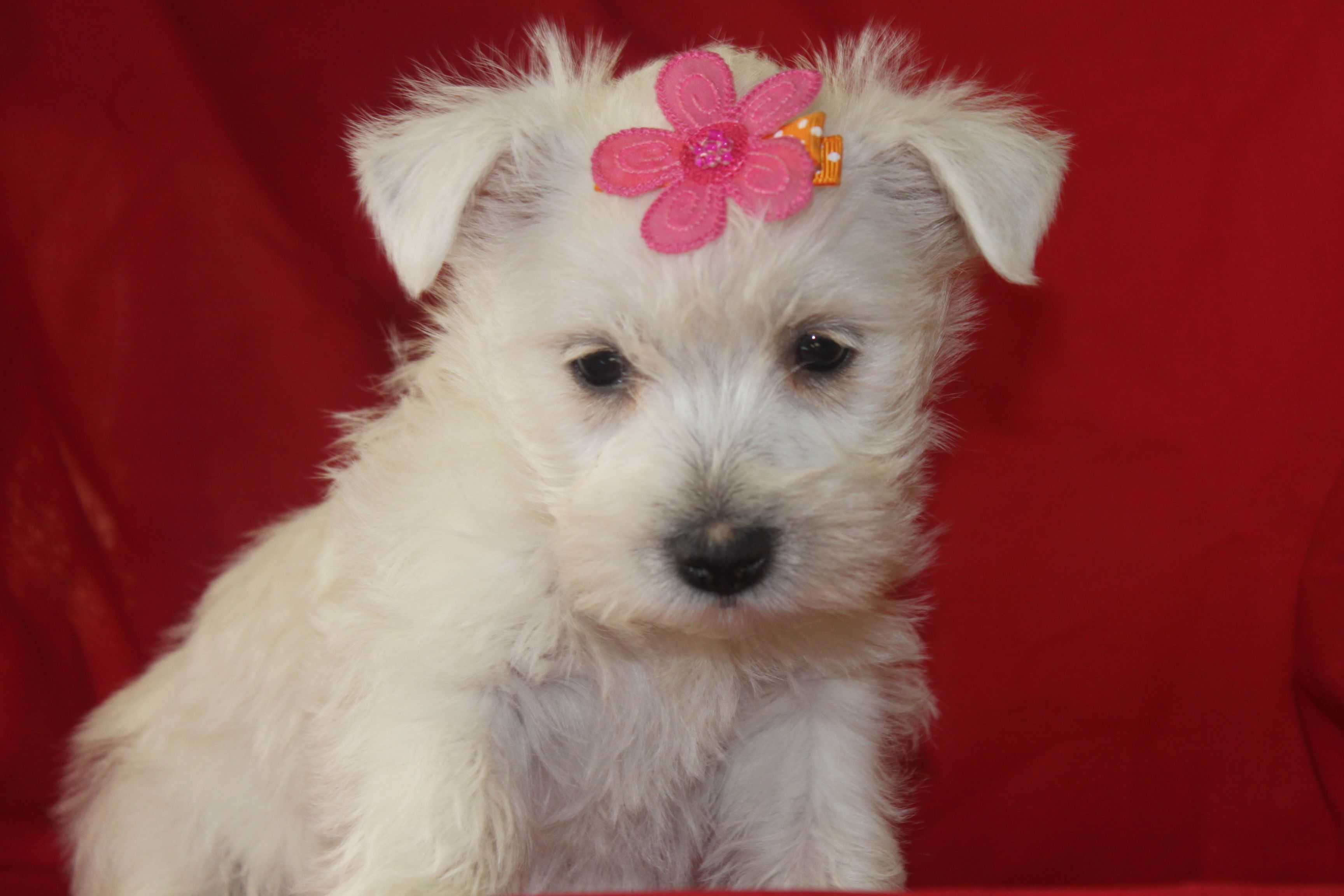 Wenner Dogs For Sale In Texas