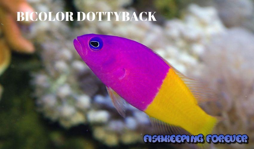 bicolour dottyback saltwater fish saltwater fish marine fish