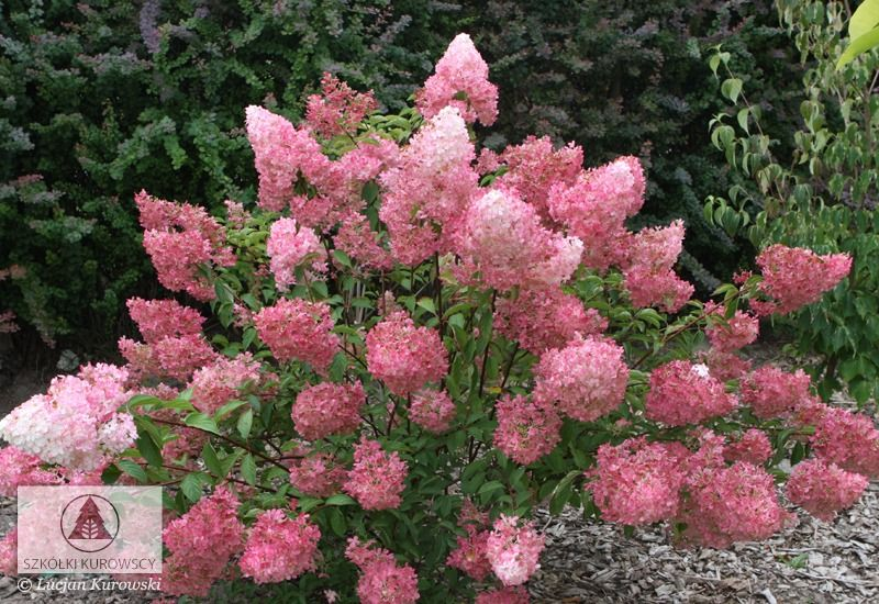hydrangea paniculata 39 vanille fraise 39 hortensja. Black Bedroom Furniture Sets. Home Design Ideas
