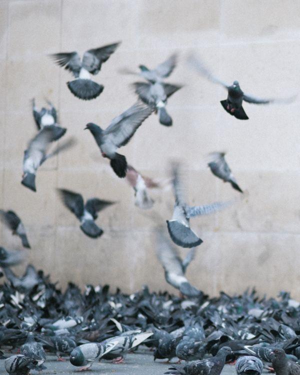 Les Pigeons Paris Kate Holstein Blog Oiseaux Paris Et Lellouche