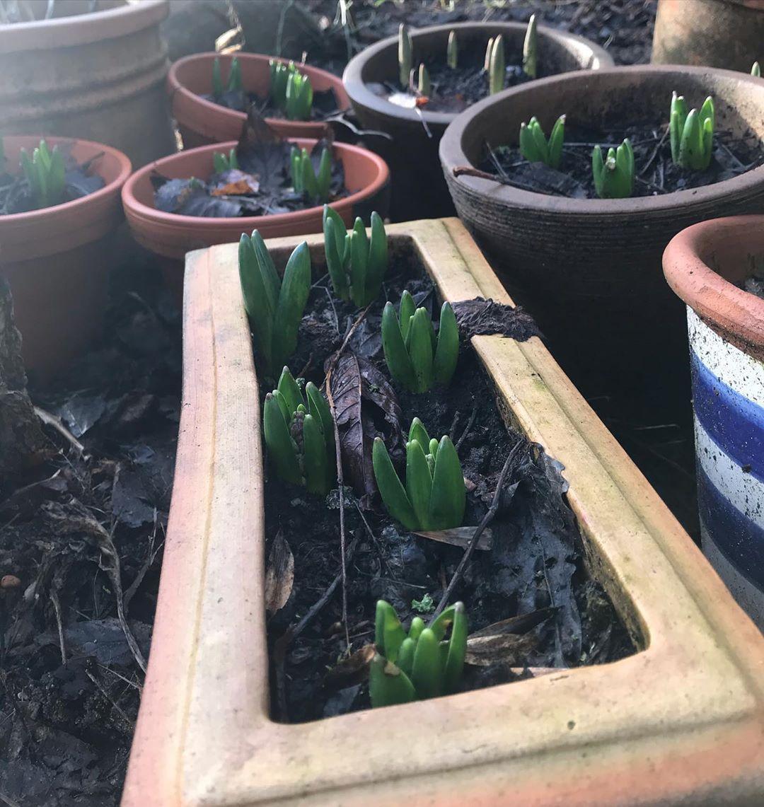 Hyacinter og tulipaner står i kø for at komme op i krukkerne 🌱🌷 #bakkegårdennæsbjerg #landliv #countryliving...