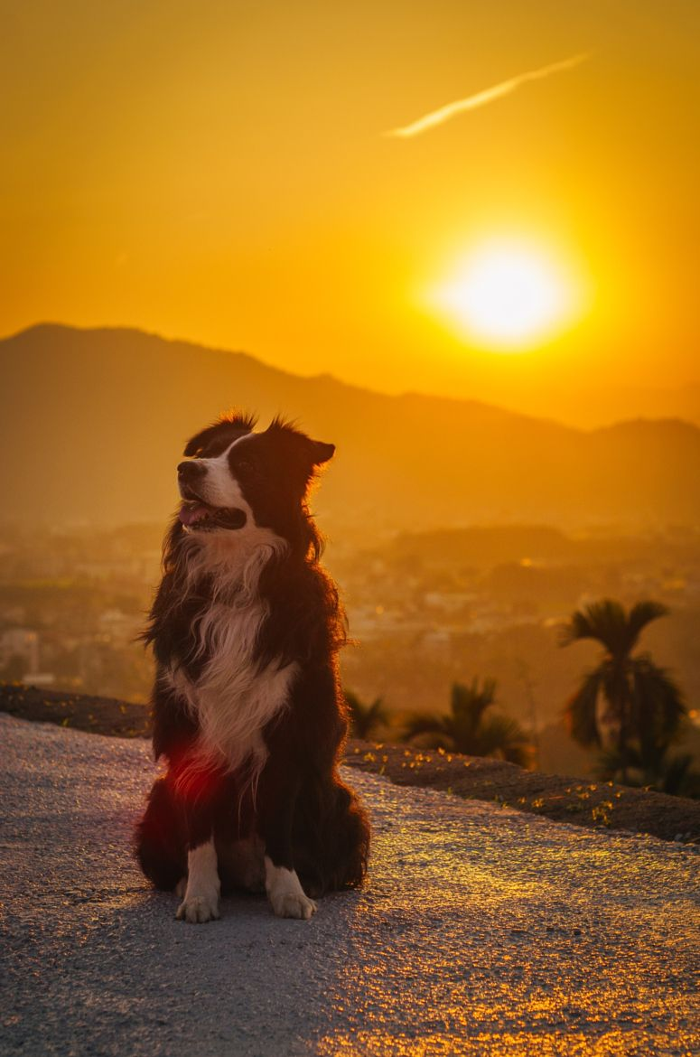 border collie in the sun