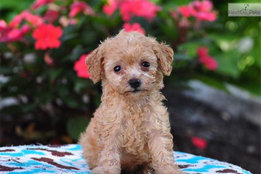 Meet Winnie A Cute Poodle Toy Puppy For Sale For 600 Winnie