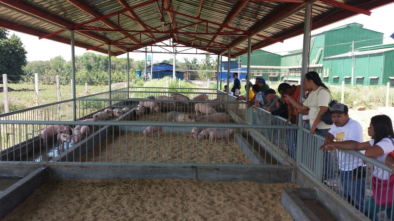 Pin By Nino Ray Regalado On Baboy Walang Amoy Pig Farming Pen