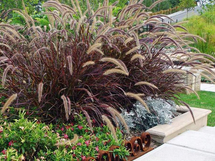 Rozplenica Rubrum Trawa Czerwona Duze Sadzonki 8336660197 Oficjalne Archiwum Allegro Dream Garden Garden Design Pennisetum Setaceum
