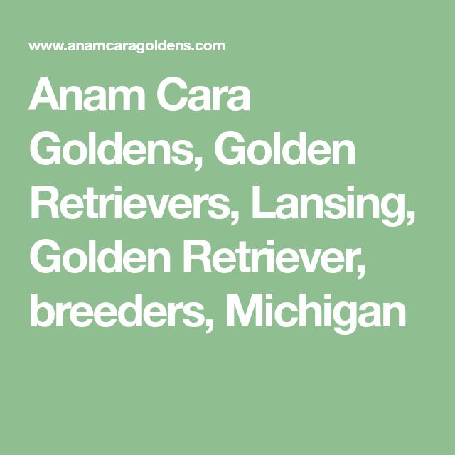 Anam Cara Goldens Golden Retrievers Lansing Golden Retriever
