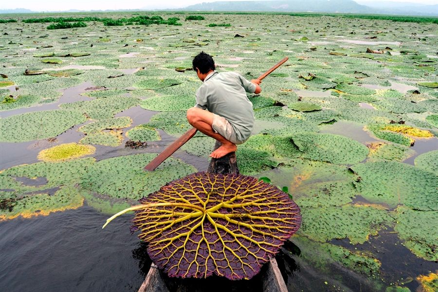 A villager collects seeds from Giant Water Lilies in the