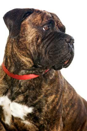 I Think This May Be A Bull Mastiff But Zoe S Nose Is Kind Of Short Like This Bull Mastiff Dogs Mastiff Breeds Mastiffs