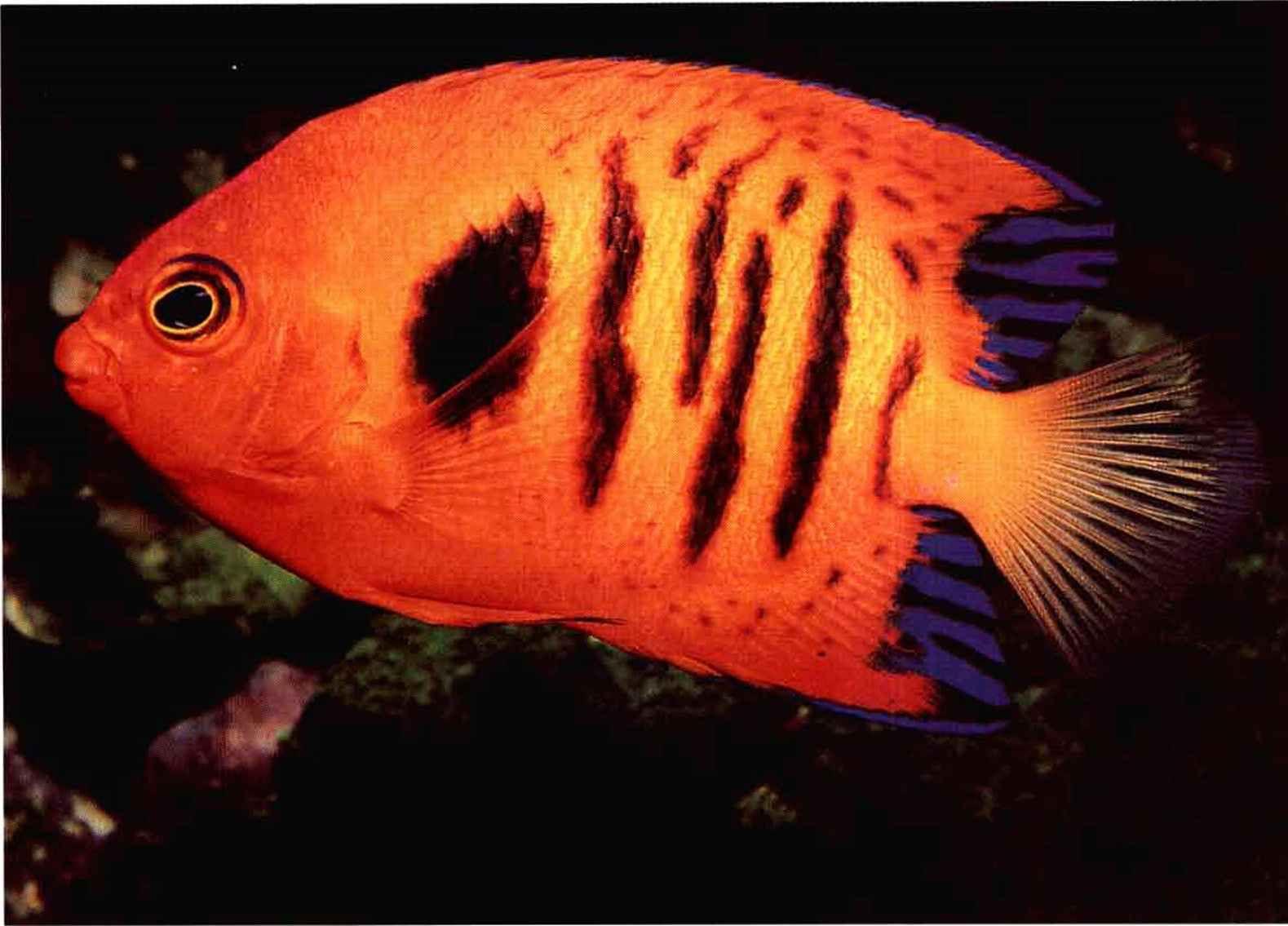 http://www.gibell.com/reef-aquariums/images/4272_118_455-tang-fish ...