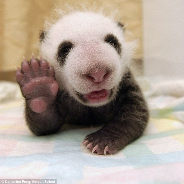 Cute Panda cub waved to the camera lens photo by Katherine Feng (1)