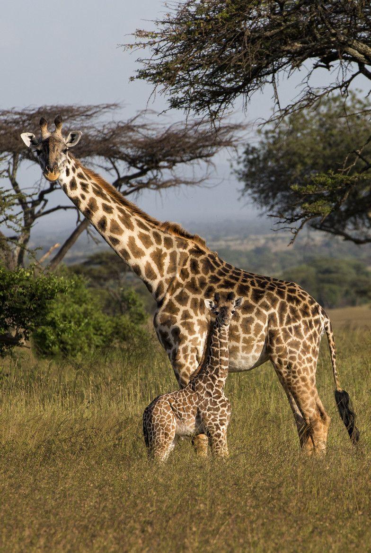Giraffe & Calf in Tanzania